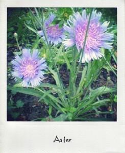 les fleurs du mois d'août